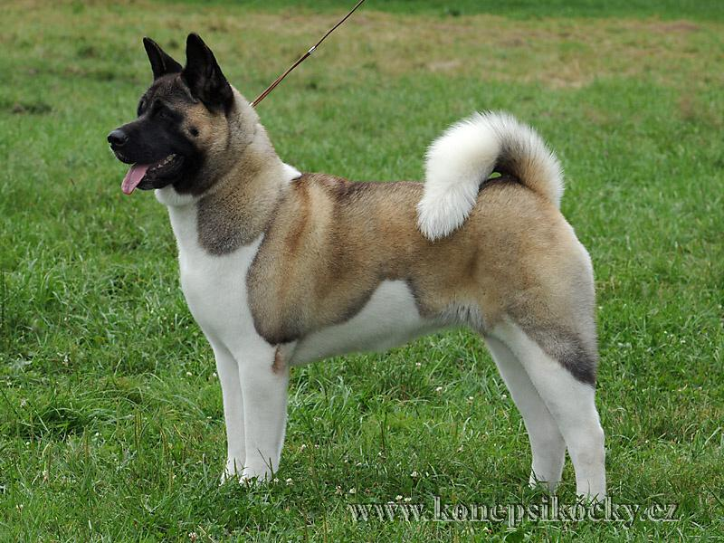 Akita Coat Colors Pictures To Pin On Pinterest Pinsdaddy